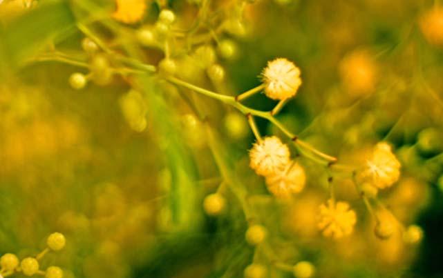 aurone jaune sur un fond flou