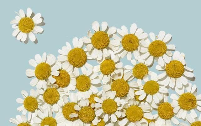 Fleurs de grande camomille