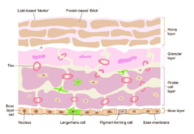 Rôle des hydratants topiques dans la prise en charge de la peau compromise